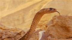 Hổ mang Ai Cập bị diều hâu chặn đường giữa sa mạc không lối thoát, số phận nó sẽ ra sao?