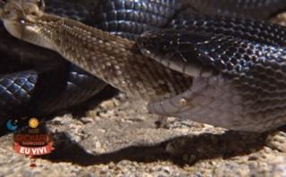 """Cậy có nọc độc, rắn đuôi chuông lao vào tử chiến với """"sát thủ đen"""""""