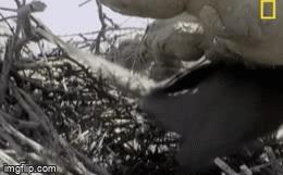 Mò lên cây trộm trứng bị chim mẹ phát hiện, rắn vua dài 1,2 mét nhận cái kết thảm hại