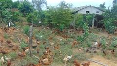 Dưới nuôi gà ta đông như 'quân Nguyên', trên trồng giống bưởi quý, ông nông dân này có của ăn của để