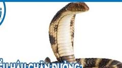 Bị diều hâu chặn đường, hổ mang Ai Cập phùng mang trợn mắt đe dọa, liệu nó có thoát chết?