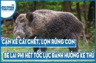 Cận kề cái chết, lợn rừng con bẻ lái phi hết tốc lực đánh hướng kẻ thù