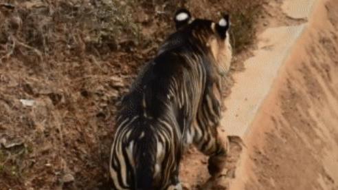 Cận cảnh vẻ đẹp của loài 'hổ quỷ' siêu hiếm: Thế giới chỉ còn khoảng 8 con
