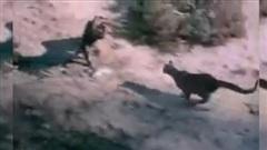 Cả gan 'hớt tay trên' của sư tử, đại bàng nhận kết bi thảm