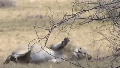 Đang săn linh dương, sư tử bất ngờ co giật, giãy đành đạch sau vài giây