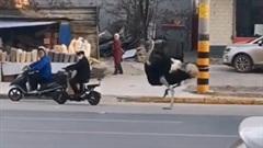 Đà điểu 'chạy đua' với ô tô, xe máy trên đường phố đông đúc
