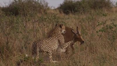 Báo săn 'khô máu' với linh dương 'cứng đầu' để kiếm mồi cho đàn con