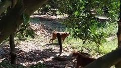 """2 con chó nhà tử chiến dữ dội với rắn hổ mang chúa """"khủng"""" và cái kết"""