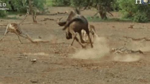 Linh dương gãy 1 chân vẫn chiến đấu máu lửa với 3 báo săn và chiến thắng không tưởng