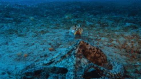 Ngỡ sẽ săn được mồi ngon, bạch tuộc lại bị con mồi 'đấm cho không trượt phát nào'