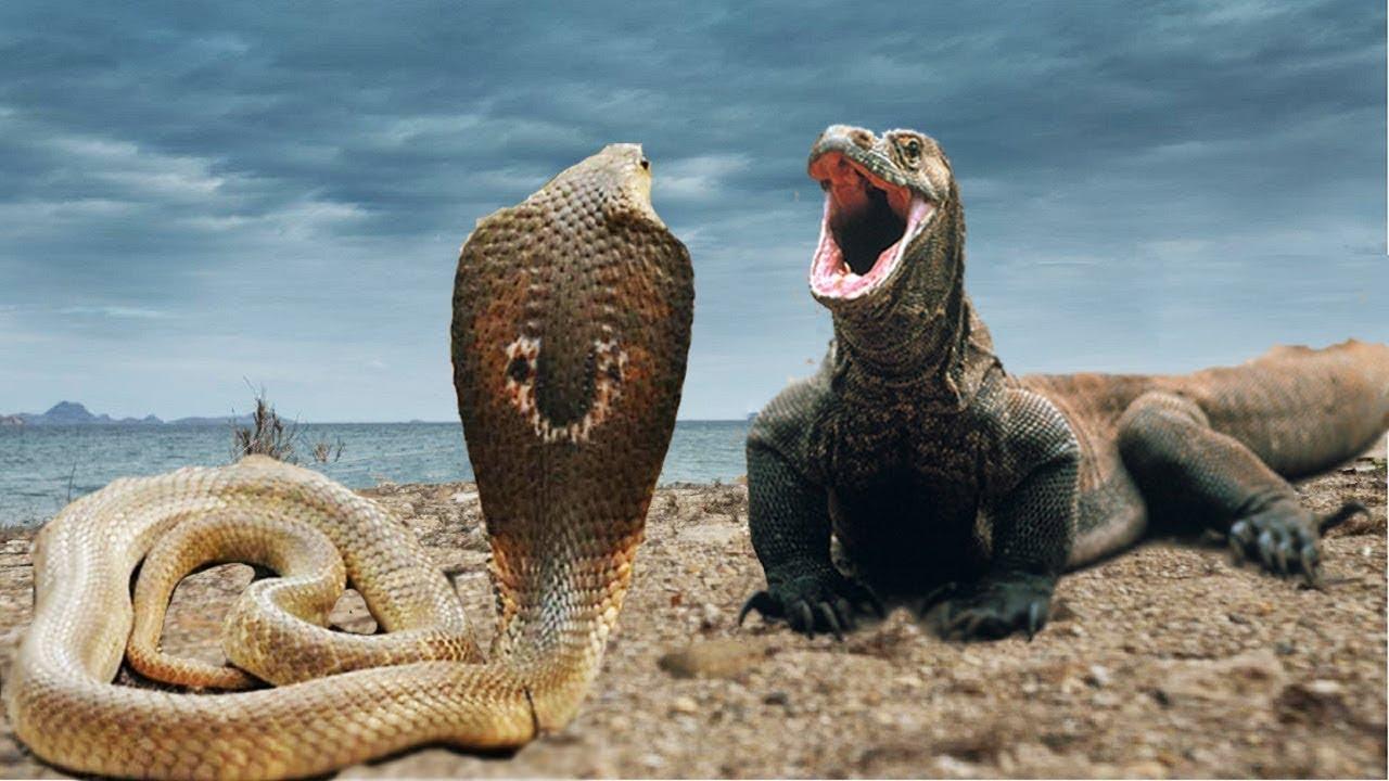 Rồng đất đánh nhau với rắn hổ mang bành