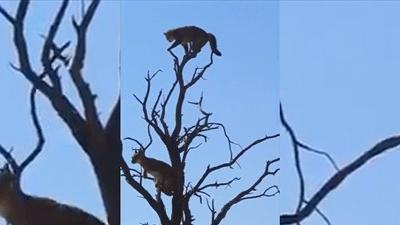 Mèo hoang đen đủi gặp phải linh miêu hung dữ, đánh đuổi lên tận ngọn cây cao