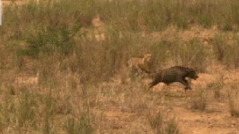 Huy động hết lực lượng, sư tử vẫn phải trèo lên cây trốn chạy khi bị trâu rừng phản kích