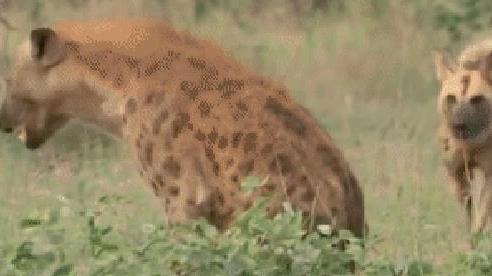 Đang nằm nghỉ thì bị chó hoang đánh úp, 2 con linh cẩu 'được cứu' bởi kẻ không ngờ đến