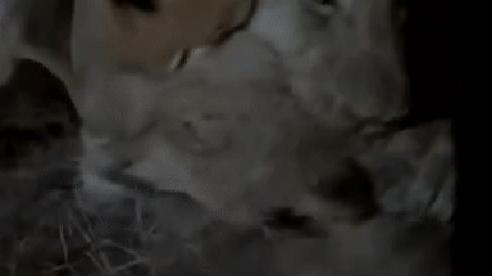 Bi kịch trong đêm: Sư tử cái vừa sinh con bị cả linh cẩu, báo hoa mai và đồng loại ập đến tấn công