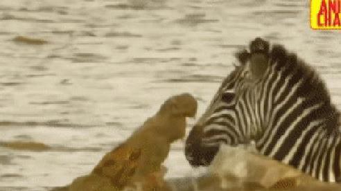 Phía trước đá trơn trượt, phía sau là cá sấu, ngựa vằn vẫn làm nên kỳ tích
