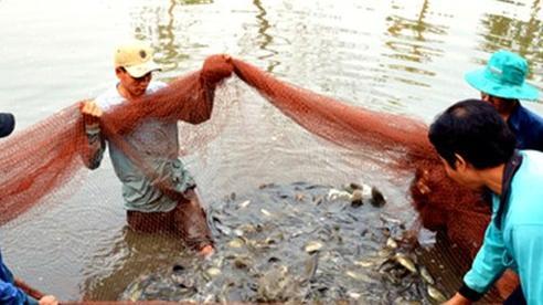 Vụ 1,6 tấn cá sặc bổi chết bất thường: Do sét đánh?