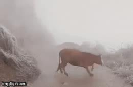 Video: Xót xa hình ảnh chú bò không đi vững trên đường đầy băng tuyết ở Lào Cai