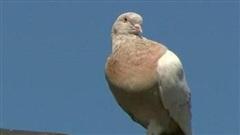 Giới chức Australia đau đầu vì chim bồ câu 'bay lạc' từ Mỹ đến không qua kiểm dịch