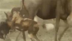 Tỷ lệ săn mồi thành công gần 80%, chó hoang vẫn 'trắng tay' dù đã hạ được linh dương