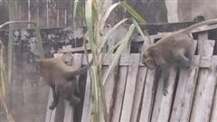 Đã bắt được 2 con khỉ trong đàn khỉ 'đại náo' khu dân cư ở quận 12