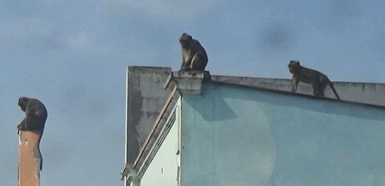 Vụ đàn khỉ 'đại náo' khu dân cư ở TP.HCM: Đã bắt được con đầu tiên