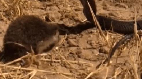 Hổ mang Ai Cập đụng độ nhím gai: Kẻ có nọc độc phải tháo chạy vì 'con mồi' bé nhỏ