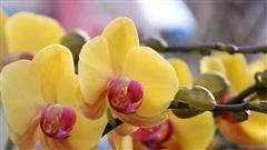 Người dân Thủ đô 'Tranh nhau' mua địa lan siêu đẹp giá 130.000 đồng/giỏ chơi Tết