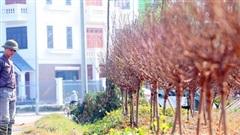 Vựa trồng đào lớn thứ 2 tại Hà Nội 'chạy nước rút' phục vụ Tết cổ truyền