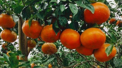 'Thủ phủ' cam bù nức tiếng Hà Tĩnh chín mọng chờ thu hoạch dịp Tết
