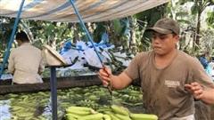 Thu giữhơn 20.000 kg chuối phun chất bảo quản chuẩn bị xuất bán