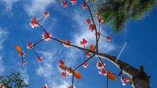 Đẹp thuần khiết mùa hoa đào chuông trên đỉnh Bà Nà