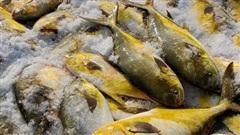 Trúng đậm mẻ cá chim vàng, ngư dân thu được 600 triệu đồng trong một đêm