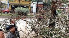 Cành hoa mận cổ về Hà Nội, giá tiền triệu vẫn hút dân mua chơi Tết