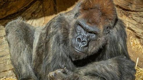 Khỉ đột khỏi COVID-19 nhờ điều trị kháng thể