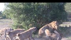 'Linh cẩu manh động, 'vua sư tử' tức tưởi mất tất cả