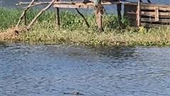 Lên phương án vây bắt cá sấu nghi sổng chuồng ở Vũng Tàu