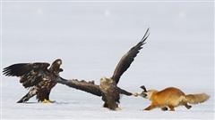 Cáo đơn độc chiến đôi đại bàng: Ai thắng?