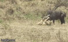 Đối đầu với sư tử cái, trâu rừng nhận cái kết đau đớn