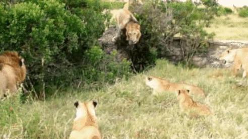 Sư tử thua trận tìm cách 'trút giận' lên con non liền bị bầy sư tử cái đánh cho tơi bời