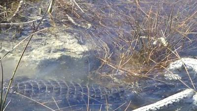 Rùng mình khoảnh khắc cá sấu ăn thịt trăn Miến Điện dưới nước