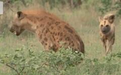 Đang nằm nghỉ, linh cẩu bị bầy chó hoang hung dữ đánh úp và cái kết bất ngờ