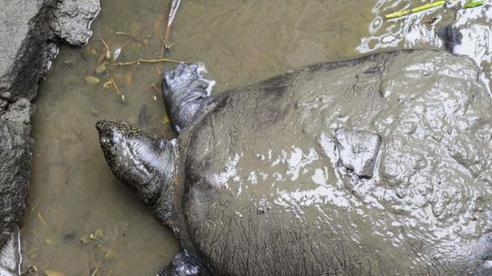 Báo nước ngoài đưa tin về việc phát hiện thêm 'rùa Hoàn Kiếm' ở Việt Nam, có thể giúp loài rùa hiếm nhất thế giới này thoát khỏi nguy cơ tuyệt chủng
