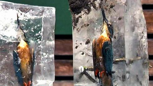Con chim bói cá cứng đơ trong tảng băng, ngỡ chỉ là tác phẩm nghệ thuật nhưng là thật 100%, 'sản phẩm' chỉ có trong mùa đông lạnh giá
