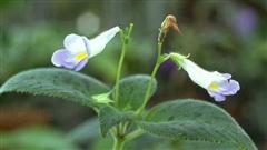 Những loại rau mọc dại khắp các vùng quê Việt Nam cực hiếm người biết, ngày nay được săn lùng vì 'quý như vàng' (Phần 1)