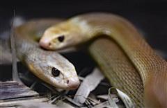 Người đàn ông tự nhốt mình với 72 con rắn kịch độc suốt 72 giờ vì lý do này