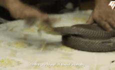 Người phụ nữ tay không bắt rắn suốt gần nửa thế kỷ