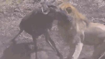 Sư tử mai phục, dùng nanh vuốt hạ gục linh dương đầu bò