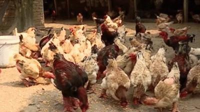 Đặt trước cả năm mới mua được cặp chân gà Đông Tảo ăn tết giá hàng chục triệu đồng