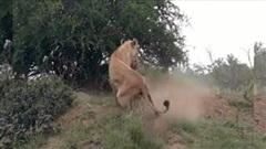 Sư tử hung dữ lôi cổ lợn rừng từ dưới hang đất lên ăn thịt